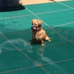 Cute Dog on Pool Cover in Northern VA